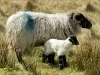maumturk-mountain-ewe-with-newborn-lamb-by-pamela-cassidy