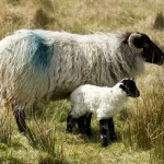 mountain ewe with newborn  lamb