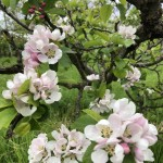 Apple Blossoms Apr'19