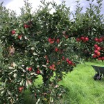 Apple Harvest'18